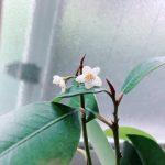 我が家の神棚から降ろした榊(4年越え)が花を!